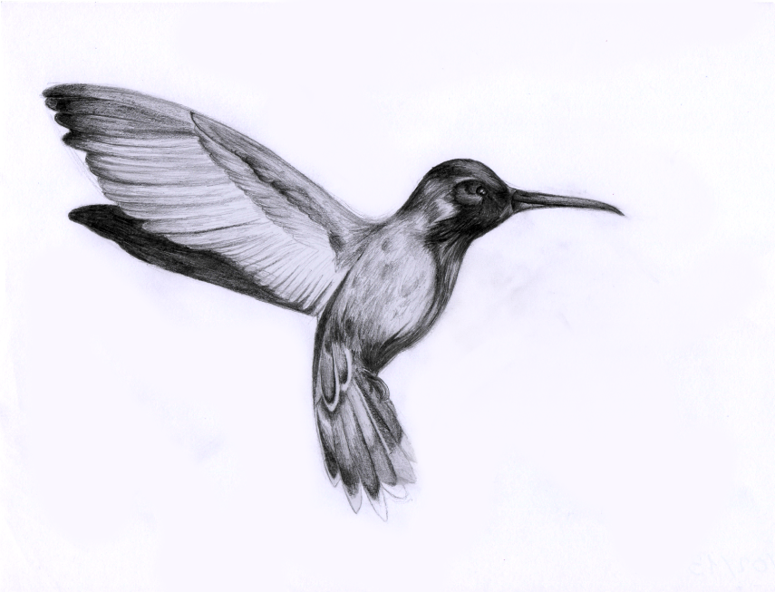 Realistic Hummingbird Drawings | www.imgkid.com - The ...