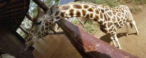 Feeding a panoramic giraffe