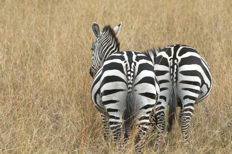 Two Zebra behinds by myp55