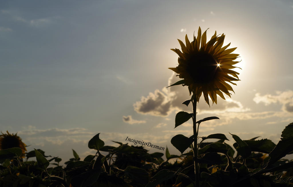 Sun Flower by IncognitoDesman