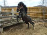 xx__black pony stud__O7
