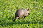 armadillo 01. by greenleaf-stock