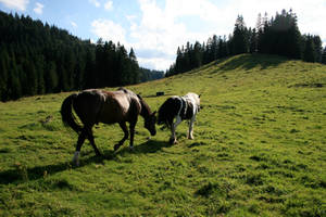 horses in alpine meadow 01.