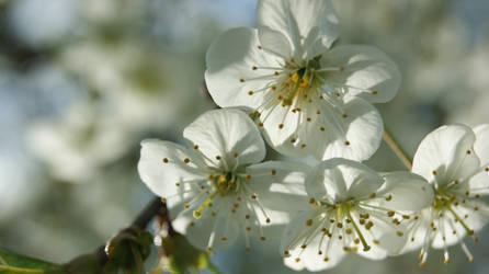 Cherry Blossoms 2 by Amashirotsuki