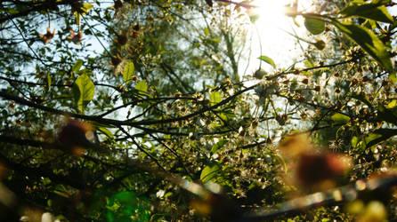 Cherry Blossoms 3 by Amashirotsuki