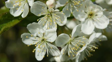 Cherry  Blossoms 4 by Amashirotsuki