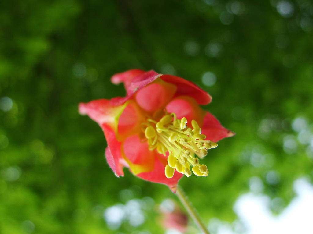 Eastern Red Columbine by Amafel-Elf