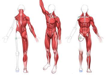ULTIMATE Anatomy by MarcBrunet