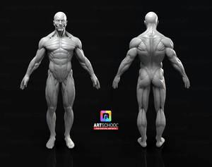 Male Anatomy Model