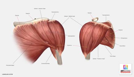 Shoulder Anatomy Tutorial