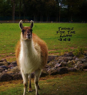 Thanks For The Llama