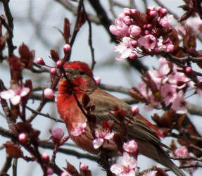 House Finch in Cherry Blossoms