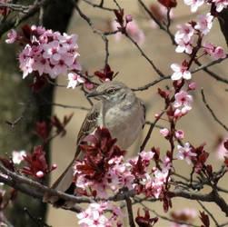 Mockingbird in Cherry Blossoms
