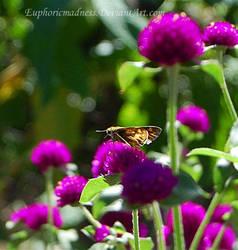Skipper on purple Globe amaranth