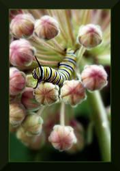 Monarch Caterpillar by Chareen