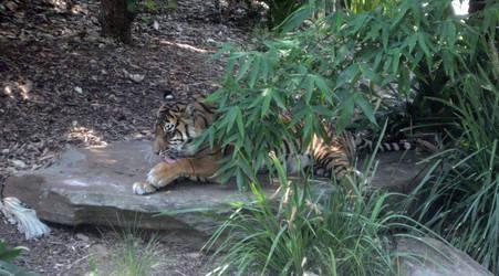 Tiger Grooming 1