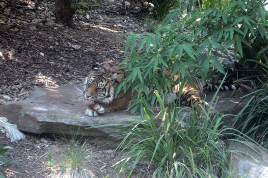 Tiger Grooming 2