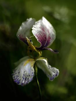 Butterflower2 - Iris