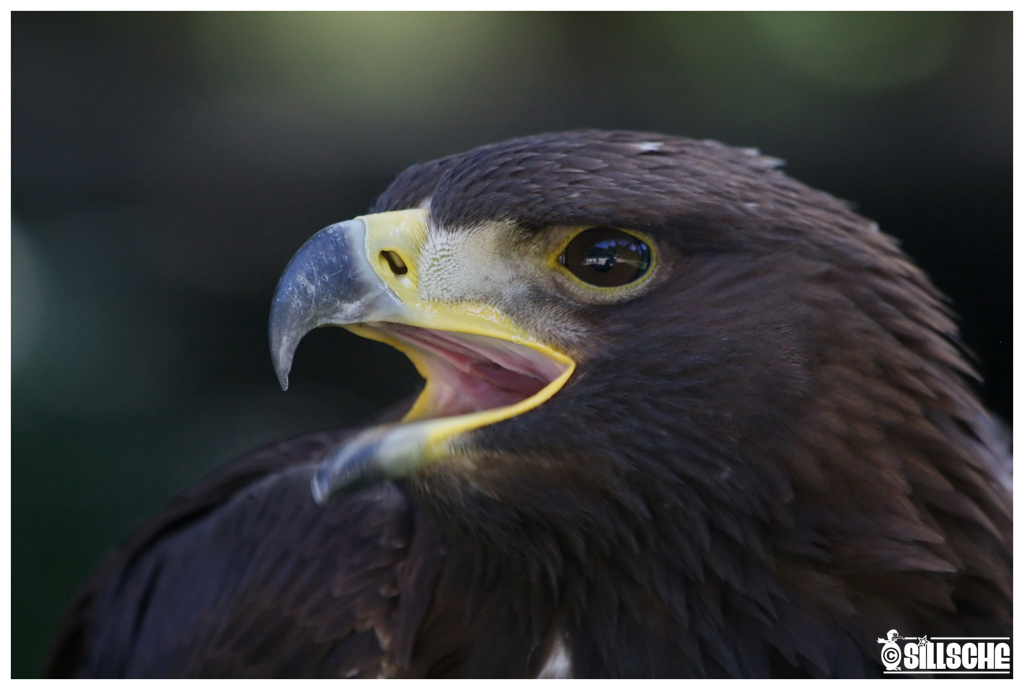 Golden Eagle, Portrait by Sillsche