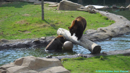 Playful Grizzley Bears