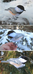 Black-capped chickadee by Riesz-Aurea