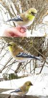 American goldfinch (winter plumage)