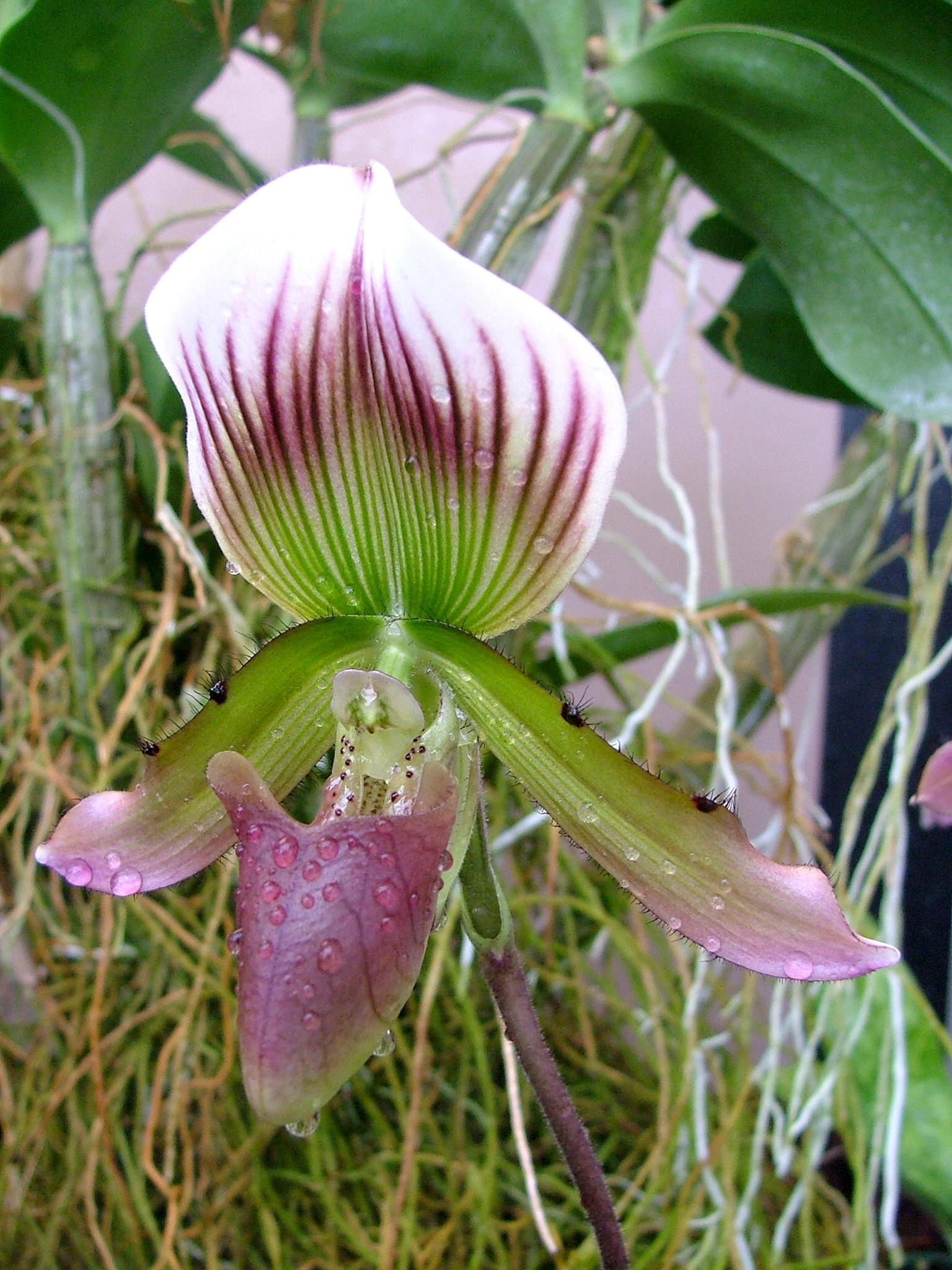 .stock: hairy orchid. by guavon-stock