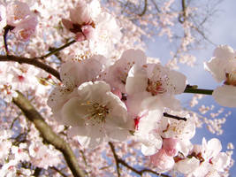 .stock: cherry blossom. by guavon-stock