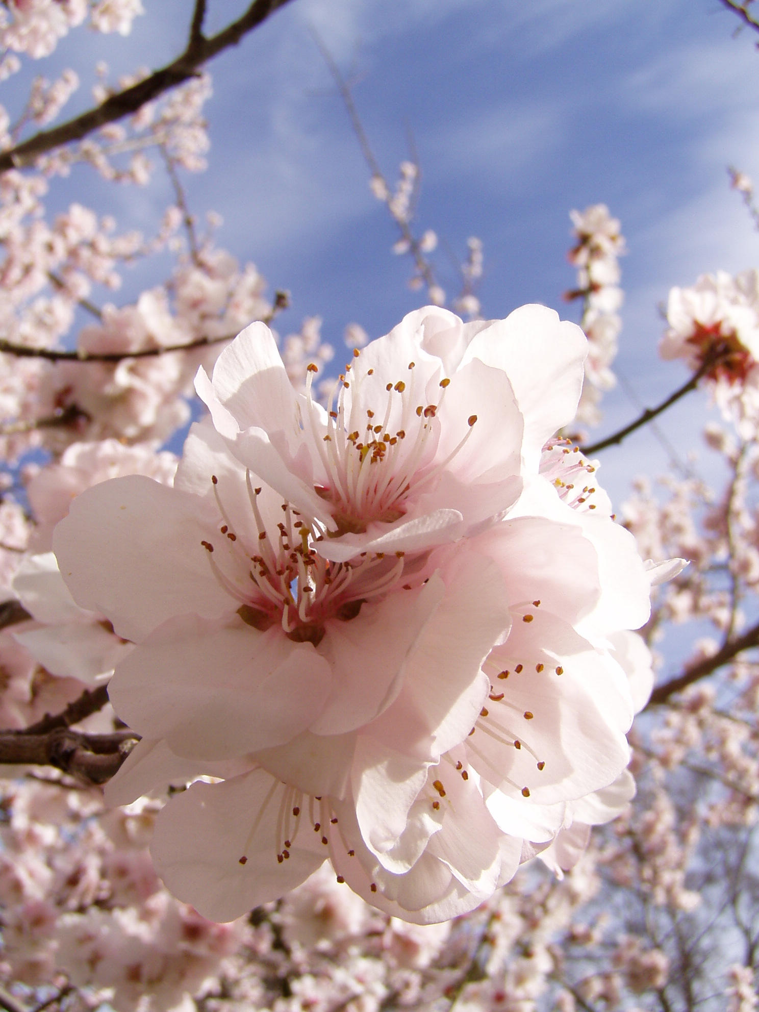 .stock: cherry blossom1. by guavon-stock