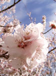 .stock: cherry blossom1.