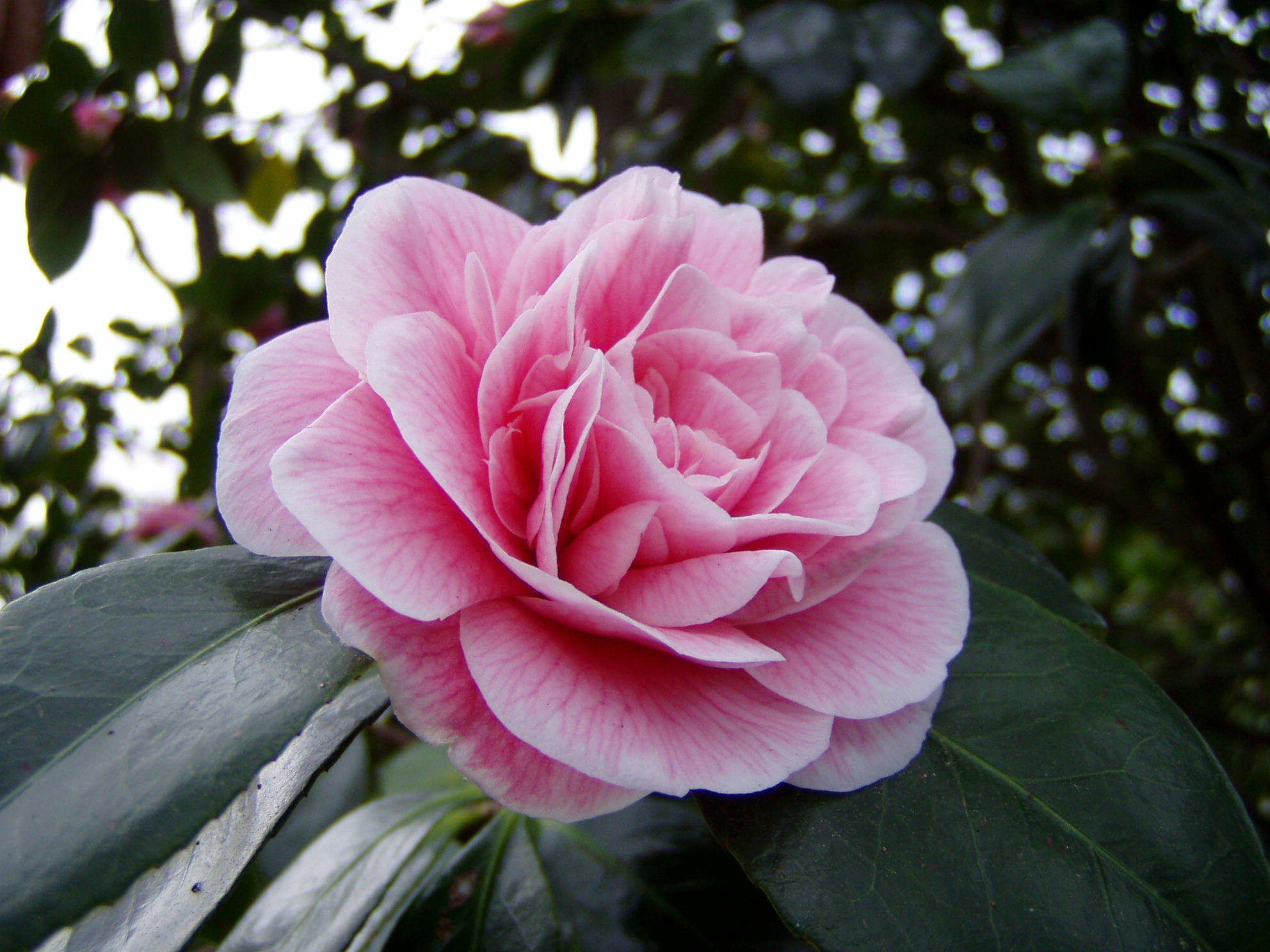 .stock: camelia. by guavon-stock