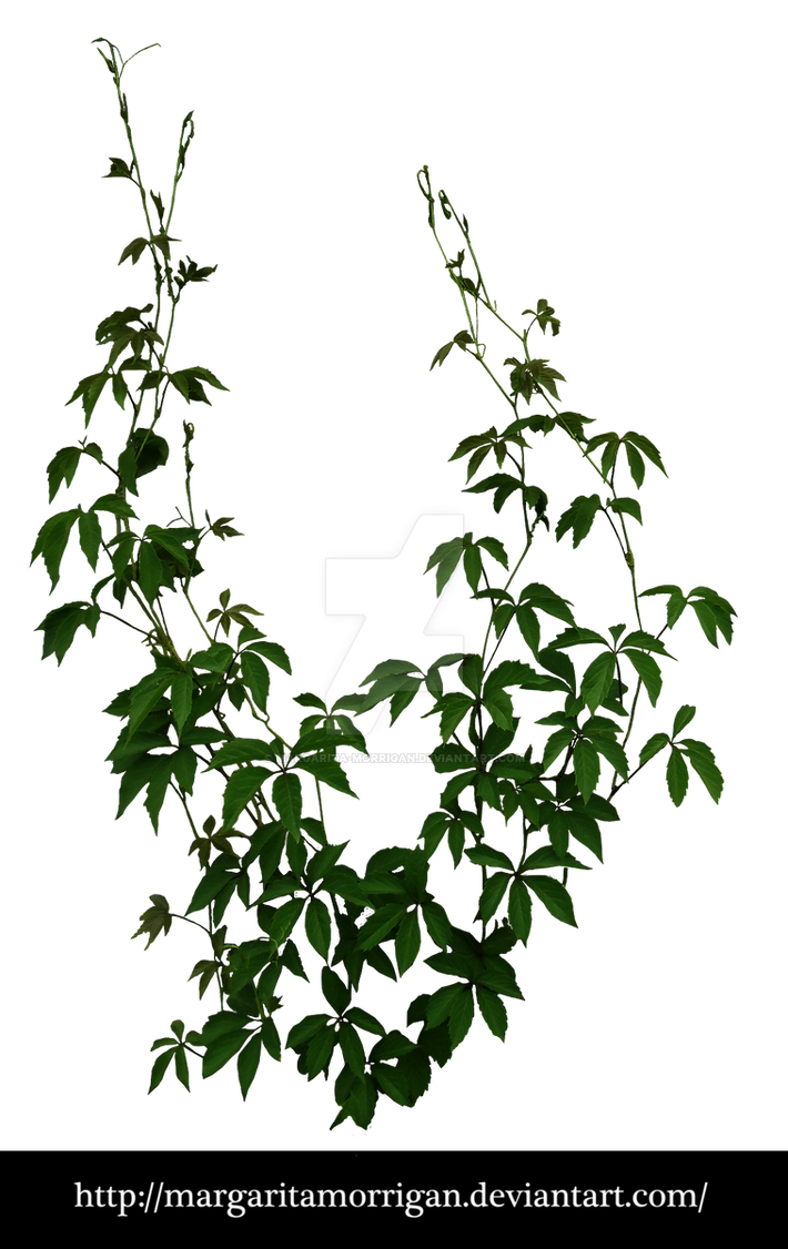 Parthenocissus tricuspidata by margarita-morrigan