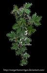 Parthenocissus tricuspidata2