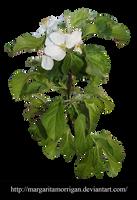 apple blossoms by margarita-morrigan