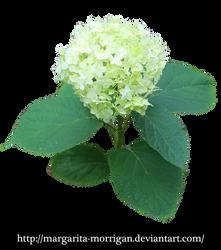 Hydrangeas by margarita-morrigan