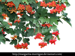 Red viburnum