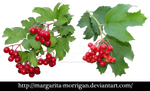 Red viburnum_01
