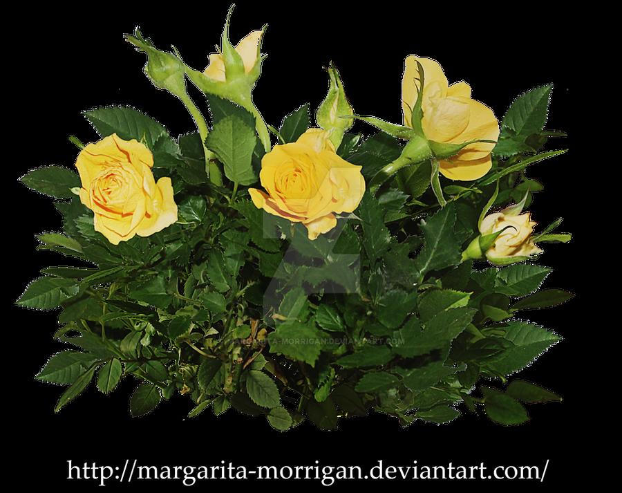 yellow rose bush by margarita-morrigan on DeviantArt