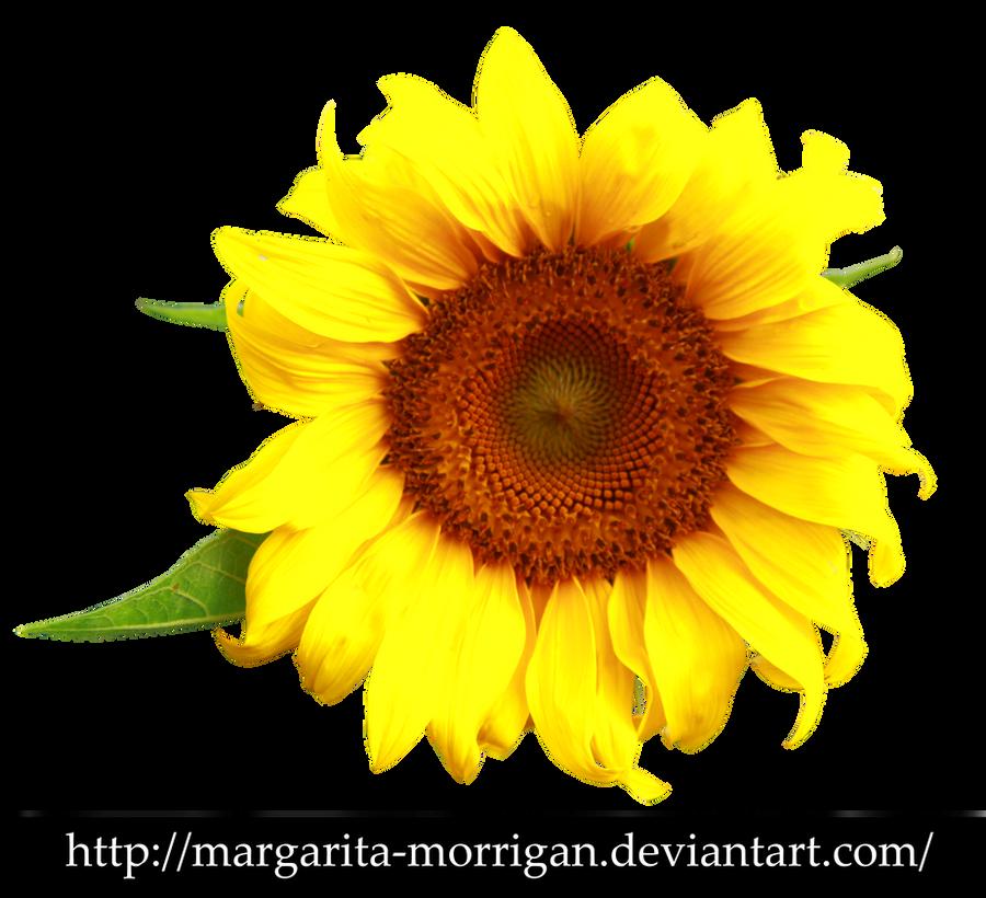 Sunflower by margarita-morrigan