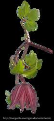 clematis flower by margarita-morrigan