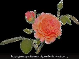 Rose_1 by margarita-morrigan