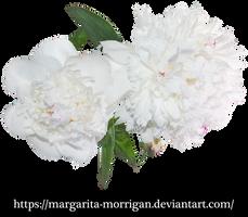 white peony 2 by margarita-morrigan