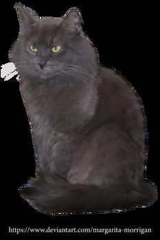 Fluffy gray cat