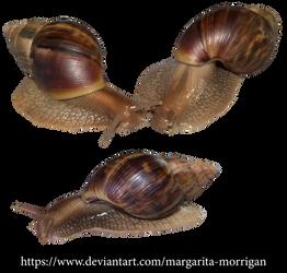 Achatina snails