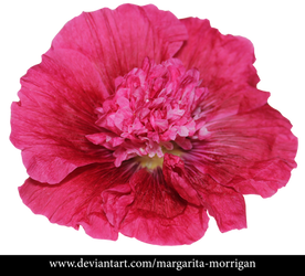 Alcea png Malvaceae