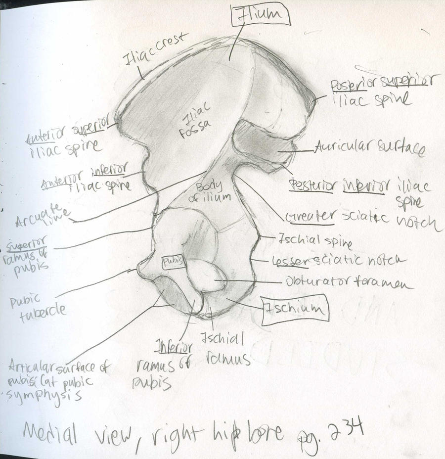 Axial Skeleton- medial view right pelvic bone by Mismatching-Socks ...