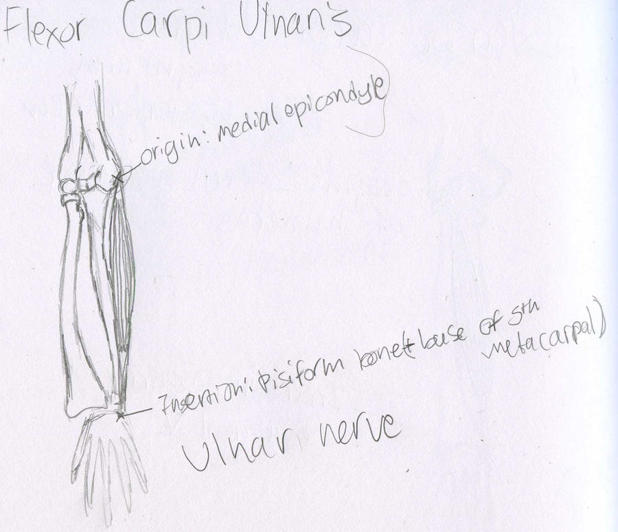 Muscles - Flexor Carpi Ulnaris - O.I.N. by Mismatching-Socks
