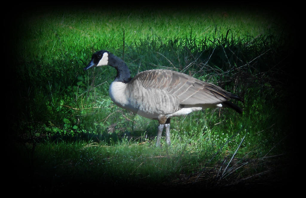 Goose by Persephonesplace