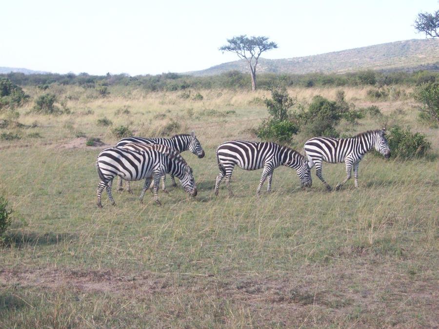 Wild Zebras by RyosukeHikashu