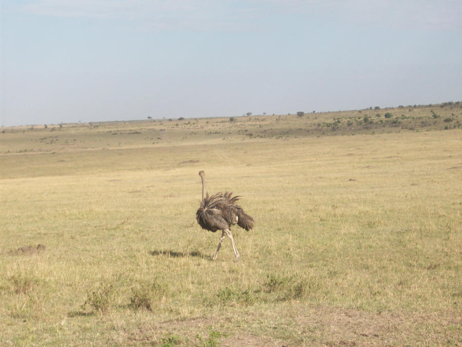 Wild Ostrich by RyosukeHikashu